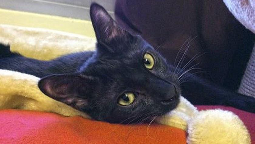 Negrito, el gato asesinado por un militar. (Foto: El Refugio)