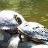 cooter turtles