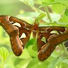 Atlus Moth