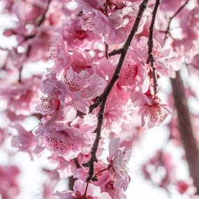 Blossoms by Brett Florence - Nature Up Close Flowers - 2011-2013 ( bright, branch, pink, flower, blossom )