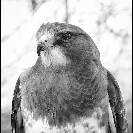 Svenson Hawk by Dave Lipchen - Black & White Animals ( svenson hawk )