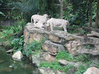 White tigers - all tigers are Asian