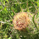 Yellow Thistle  (or Purple Thistle