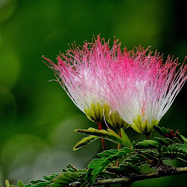Powder puff by Asif Bora - Flowers Flowers in the Wild (  )
