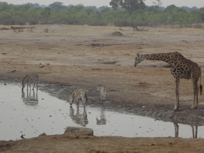 Photo: Giraffe towering over the zebras as they drink