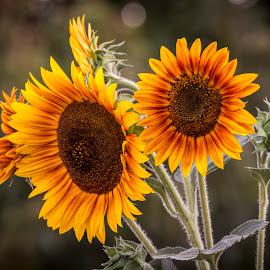 Sun Setting by Mark Ritter - Flowers Single Flower ( macro, nature, sunflower, flowers, garden, floral )