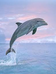 Bottlenose Dolphin Jumping,….. PINK SKY ……..OCEAN-BLUE WATER AND ...