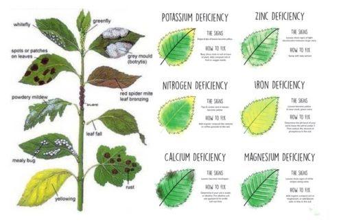 Dấu hiệu thiếu hụt chất dinh dưỡng trong cây trồng