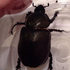 Rhino beetle (female)