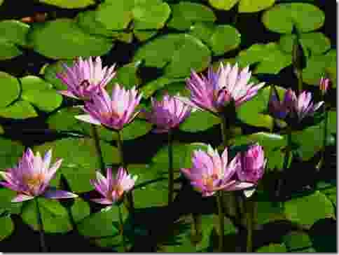 lilies_large