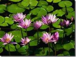 lilies_small