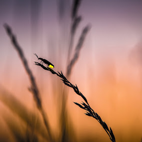 What is life? by Chris Martin - Animals Insects & Spiders ( lightning bug, field, fireflies, nature, sunset, silhouette, sunsets, summer, nature up close, sunrise, summertime, firefly,  )