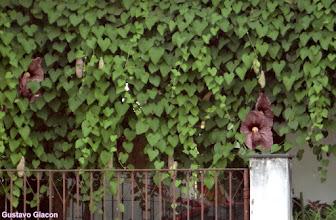 Photo: Papo de Perú ( Aristolochia gigantea )