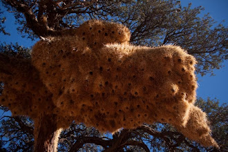 Photo: sociable weaver nests / Hnízdo Vrabce pospolitého