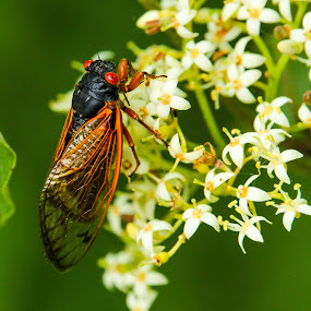 17 Year Cicada on Bloom by Eric Wellman - Animals Insects & Spiders ( insect, flower,  )