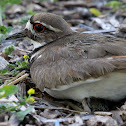 Killdeer (Adult Female and Egg)