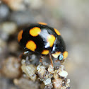 Orange-spotted Lady Beetle