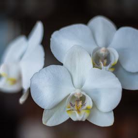 Orchid in full bloom by Mark Luyt - Flowers Flower Arangements ( blossom, bloom, white, orchid, flower,  )