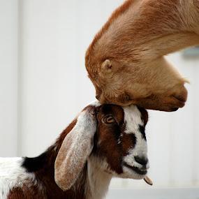 Seeing Eye to Eye by Stephanie Ostrander Bishop - Animals Other Mammals ( goats, animals, heads )