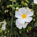 Sage-leaved Rockrose