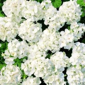 Image result for geranium multibloom white