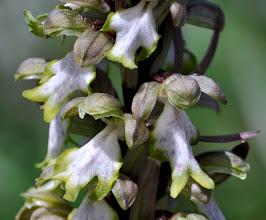 Photo: Barlia Robertiana , Orchidaceae