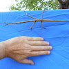 Tessellated Stick Insect (female)