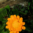 Common Marigold