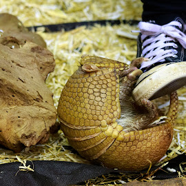 Armadillo fun by Helen Andrews - Animals Other ( #armadillo #fun #playing #rollsintoaball #cute )