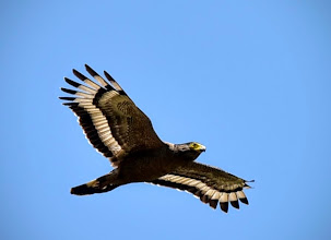 Photo: Crested Serpent Eagle (Spilornis cheela)