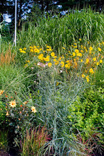 Photo: Drought-tolerant ornamental grasses and perennial sunflowers - perfect for sandy OR clay soils and lovely in the winter too!