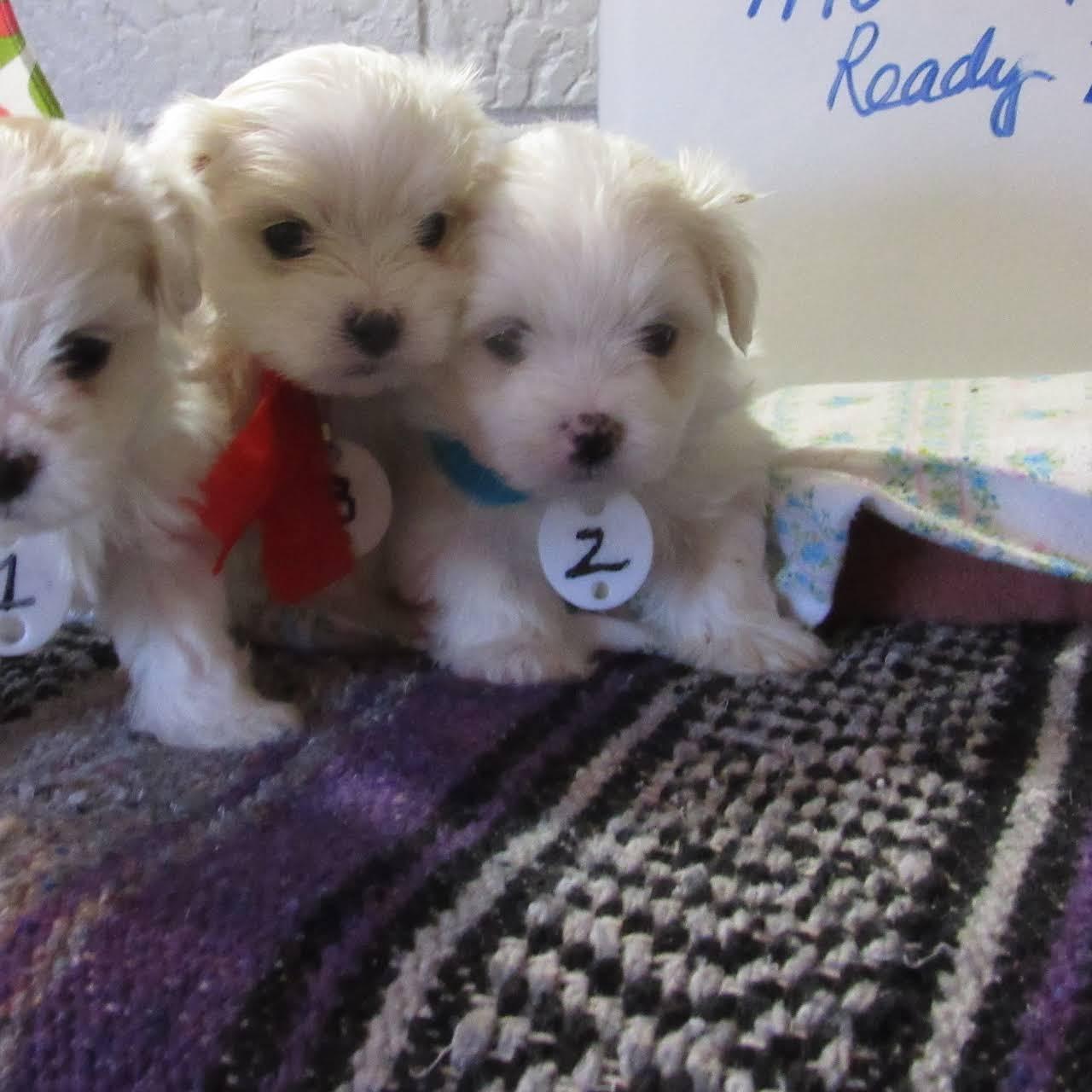 Minnie Sue's Maltese Puppies - Dog Breeder in Lubbock