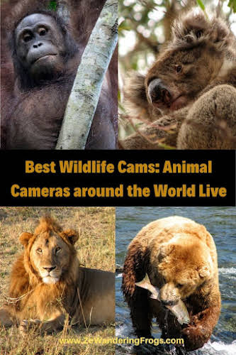 Best Wildlife Cameras: Animal Cameras around the World Live // Wildlife Collage Pinterest