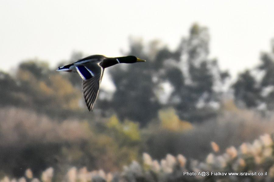 Утка в полете. Экскурсия в Израиле в птичий заповедник на озеро Агмон Хула.