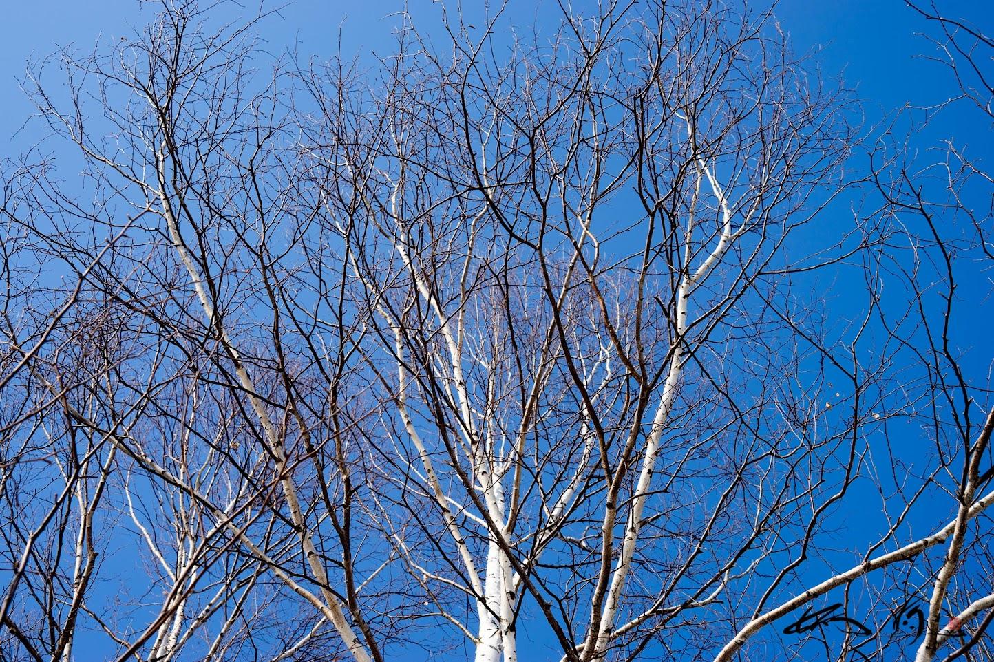 金毘羅公園の白樺