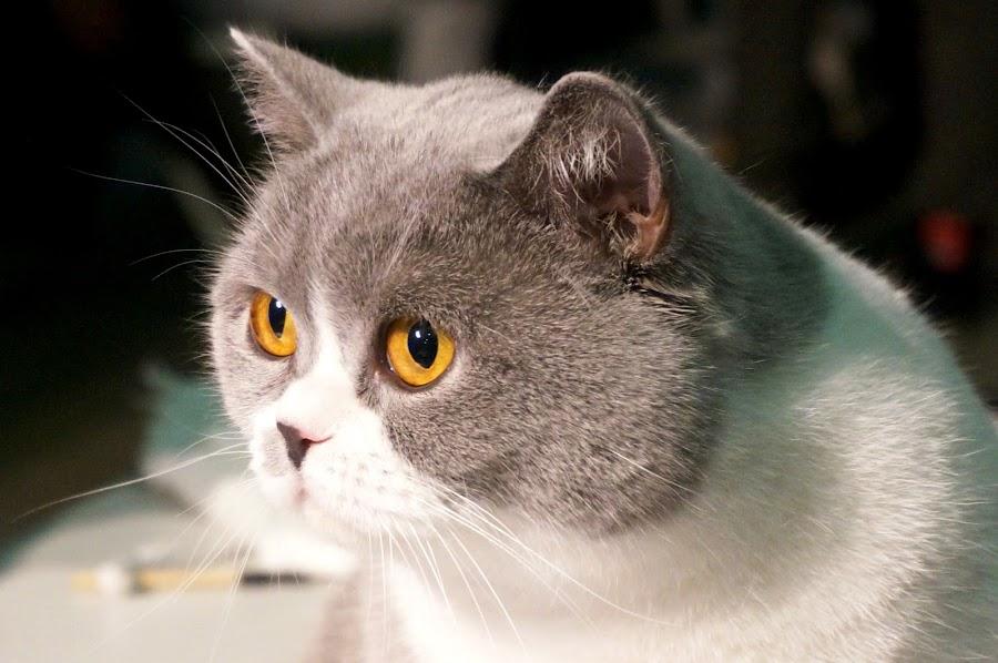 Golden eye by Sámuel Zalányi - Animals - Cats Portraits ( wcf, cat, temesvár, golden eye, bánát, exhibition, timisoara, yellow eyes,  )