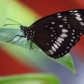 butterfly by Adhie Parama - Animals Insects & Spiders