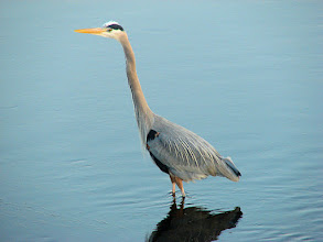 Photo: Great blue heron -  San Diego River at Mission Bay