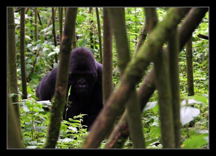 Gorilla di AleAme