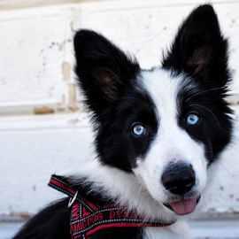 Little border collie by Gianluca Presto - Animals - Dogs Puppies ( bordercollie, blue, dog, puppies, pet, border collie )