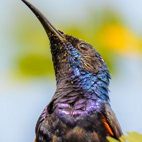 Portrait Of Purple Sunbird by Suman Basak - Animals Birds ( tiny, bird, nature, colorful, green, wildlife, cute, small, garden )