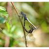 Orthetrum glaucum 黑尾灰蜻