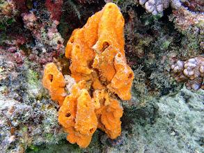 Photo: Orange Sponge, Naigani Island, Fiji