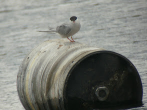Photo: 11 Aug 13 Trench Lock Pool: A Common Tern (Martin Grant)