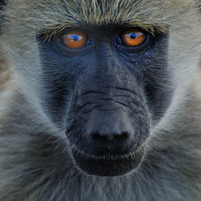 Look at Me by Jan Jacobs - Animals Other Mammals ( chobe, baboon )