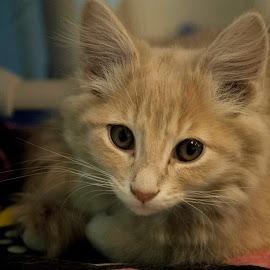 by Vicki Switala Riley - Animals - Cats Portraits ( stray, white, resting, humane society, cat, yellow, abandoned, rescue, housecat,  )