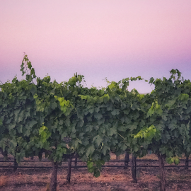 Sunset over vineyard by Kathy Dee - Instagram & Mobile iPhone ( vineyard, green, outside, sunset, purple, evening, summer, grapes )