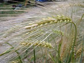 Photo: splendido grano
