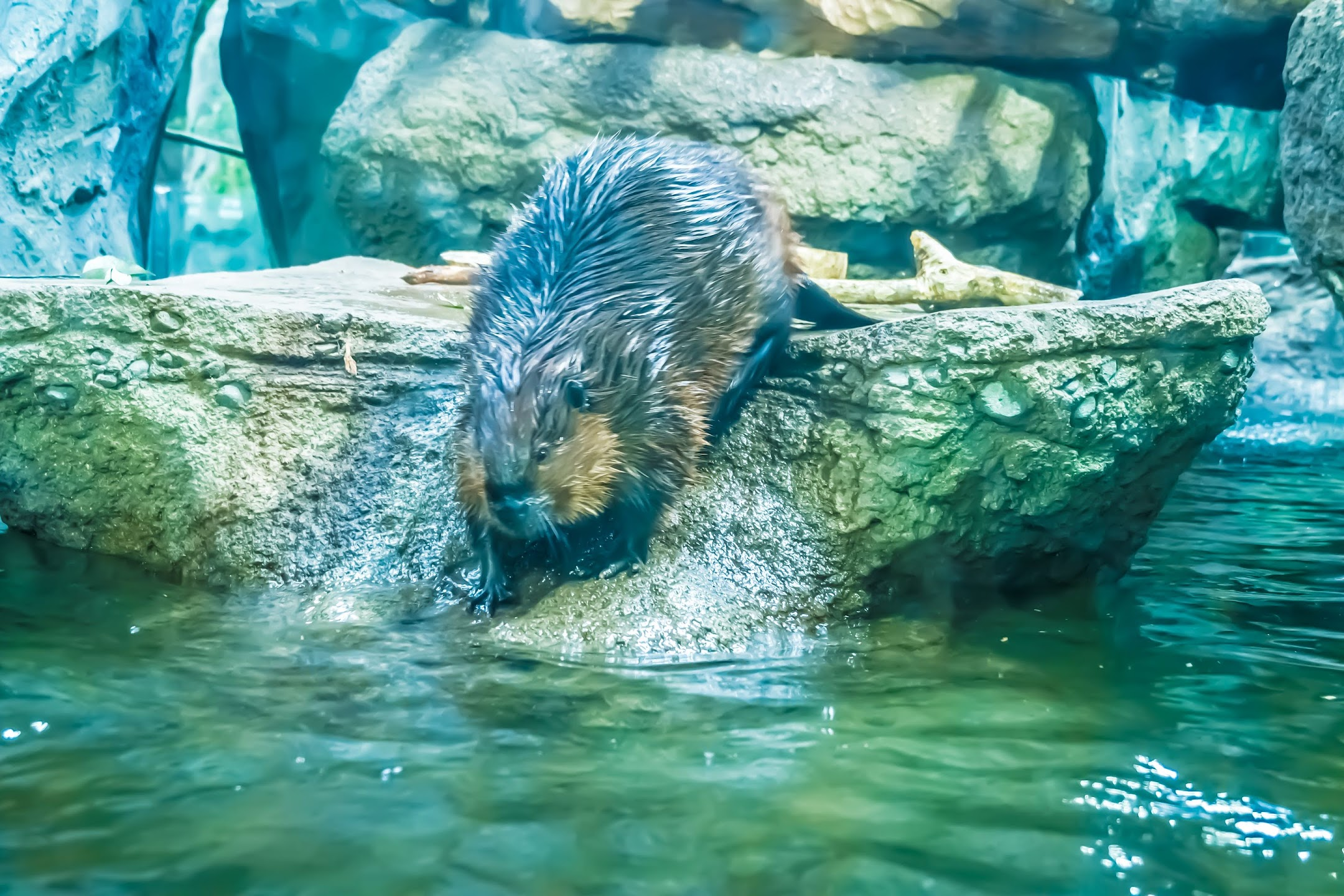Kobe Animal Kingdom beaver1
