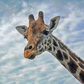 Hello there by Andrea Everhard - Animals Other Mammals ( zoo, giraffe, mammal )